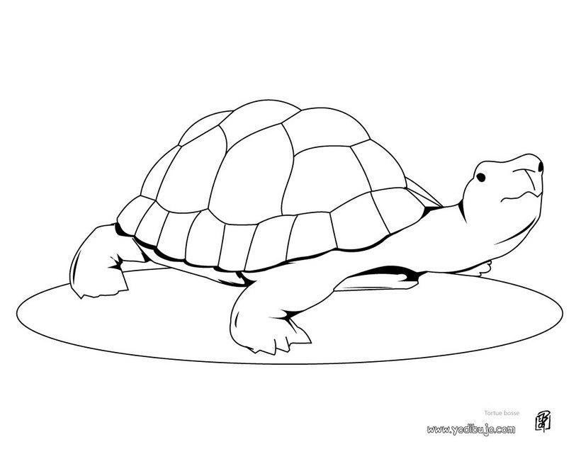 tortuga-colorear-dibujo-pintar_8zv