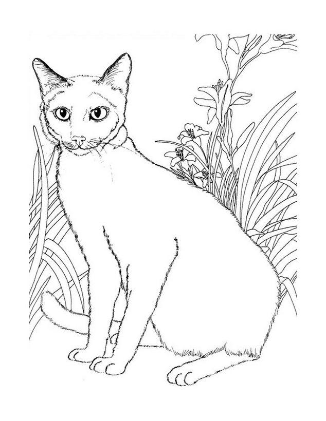 colorear,gato,siames_sel