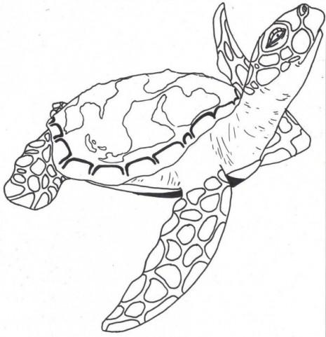 tortuga (1)