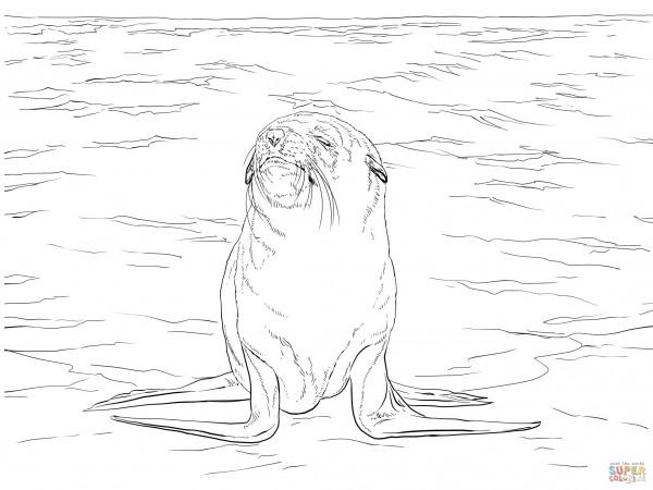brown-fur-seal-coloring-page