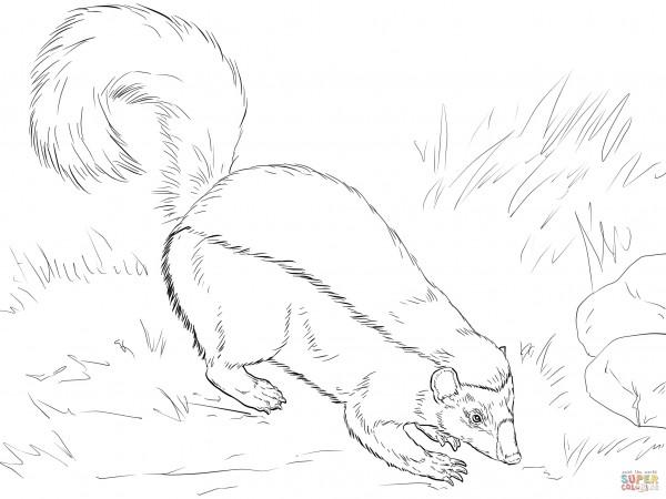 american-hog-nosed-skunk-coloring-page